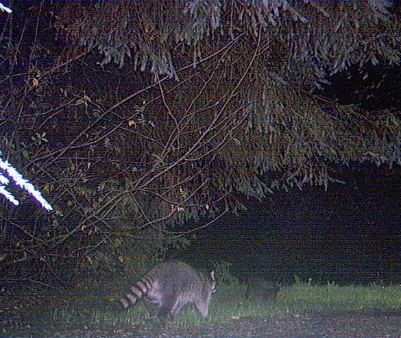 When Raccoons Attack | Forks Forum
